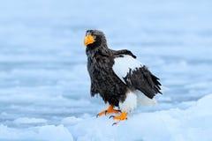 Widlife Japan Steller-` s Seeadler, Haliaeetus pelagicus, Vogel mit Fangfischen, mit weißem Schnee, Hokkaido, Japan Eagle auf Eis Lizenzfreie Stockfotos
