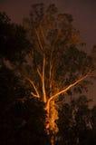 Widmowy gumowy drzewo przy nocą zdjęcia stock