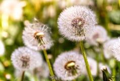 Więdnący dandelion pole Fotografia Stock