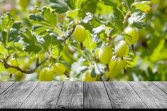 Widok świezi zieleni agresty na gałąź agrestowy krzak Zdjęcia Stock