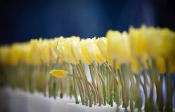 Widok żółci tulipanowi rzędy Obrazy Stock