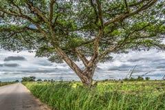 Widok Akacjowi tortilis drzewni na poboczu, tropikalny krajobraz zdjęcia stock