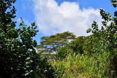 Widok Albizia drzewo w Kauai Hawaje Obrazy Royalty Free
