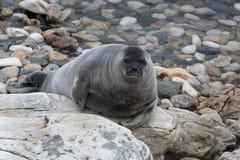 Widok Baikal foka (nerpa) Zdjęcie Stock