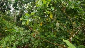 Widok cacao drzewo z zielony cacao owoc wieszać fotografia stock