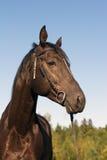 Widok czarny koń Obrazy Royalty Free