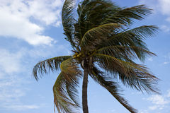 Kokosowy drzewo Obraz Stock