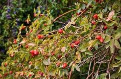 Widok drzewo, liście i owoc różany biodro z śliwkowym drzewem dalej, zdjęcie royalty free