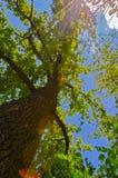 Widok drzewo od dna up Zdjęcie Royalty Free
