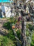 Widok drzewo winogrona z owoc fotografia royalty free
