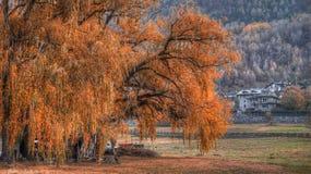 Widok, duży drzewo, wierzbowy płakać w jesieni Fotografia Royalty Free
