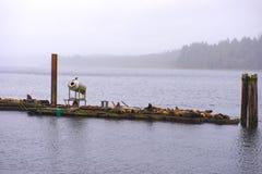Widok dzicy stelarni denni lwy oceanem w Ucluelet, Vancouver wyspa, Kanada zdjęcia royalty free