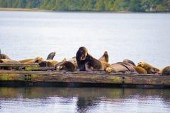 Widok dzicy stelarni denni lwy oceanem w Ucluelet, Vancouver wyspa, Kanada fotografia royalty free