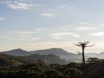 Widok góry z araukarii drzewem przy półmrokiem fotografia stock