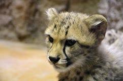 Widok geparda ` s głowa Zdjęcie Royalty Free