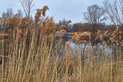 Widok jezioro przerastający z płochami. zdjęcia royalty free