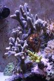 Widok koralowy akwarium Obraz Royalty Free