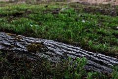 Widok korzeń drzewo który jest widoczny od trawy, fotografia royalty free