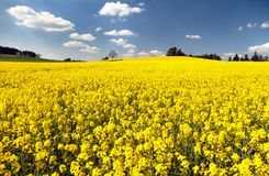 Widok kwiecenia pole rapeseed obrazy stock