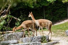 Widok Lama Vicugna w zoo ogródzie Zdjęcia Royalty Free