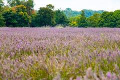 Widok lawenda przy Mayfield lawendy gospodarstwem rolnym zdjęcie stock