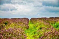 Widok lawenda przy Mayfield lawendy gospodarstwem rolnym Fotografia Royalty Free