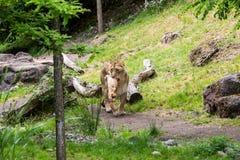 Widok lew w zoo łasowaniu Fotografia Royalty Free