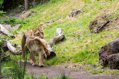 Widok lew w zoo łasowaniu Obrazy Stock