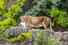 Widok lew w zoo łasowaniu Zdjęcie Stock