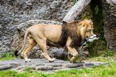 Widok lew w zoo łasowaniu Zdjęcia Royalty Free