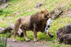 Widok lew w zoo łasowaniu Obraz Royalty Free