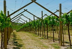 Widok młody winnica w Somontano wina regionie zdjęcia royalty free