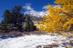 widok modrzewiowa zimy. Obraz Royalty Free