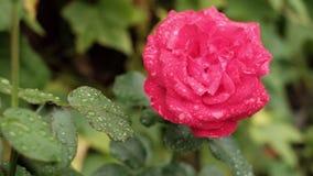 Widok na świeżych podeszczowej wody kroplach na pięknym kwitnącym czerwieni róży kwiacie na słonecznym dniu zbiory wideo