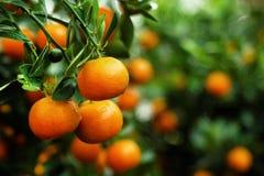 Widok na gałąź z jaskrawymi pomarańczowymi tangerines na drzewie Obraz Royalty Free