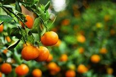 Widok na gałąź z jaskrawymi pomarańczowymi tangerines na drzewie w ogródzie Zdjęcie Stock