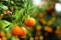 Widok na gałąź z jaskrawymi pomarańczowymi tangerines na drzewie w ogródzie Zdjęcia Stock