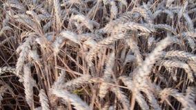 Widok na pszenicznym polu Złoty pszenicznego pola chodzenie w wiatrze zbliżenie zbiory wideo