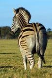 widok na zebra Fotografia Royalty Free