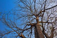 Widok od dna drzewo, to rozgałęział się gałąź li Zdjęcia Stock