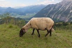 Widok od Rossfeld panoramy halnej drogi z pastwiskowymi caklami fotografia stock