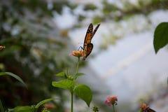 Widok od za pomarańcze, żółtego i czarnego motyla z zamkniętymi skrzydłami, siedzi na kwiacie obrazy royalty free