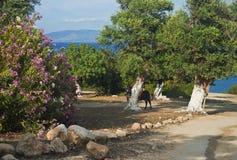 Widok osioł pod dużym oleanderem i drzewem kwitnie Zdjęcie Royalty Free