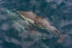 Widok pływa właśnie pod oceanu ` s powierzchnią pospolity delfin Fotografia Royalty Free