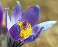 Widok piękny błękitny kwiat pasqueflower na łące zdjęcie stock