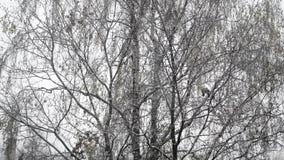 Widok piękny zimy brzozy drewno zdjęcie wideo