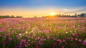 Widok piękny kosmosu kwiatu pole w zmierzchu czasie Zdjęcie Stock