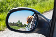 Widok pies w rearview lustrze samochód Psi przyglądający out samochodowy okno Węgierski pointer Vizsla zdjęcia stock