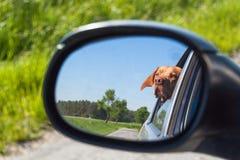 Widok pies w rearview lustrze samochód Psi przyglądający out samochodowy okno Węgierski pointer Vizsla fotografia stock