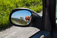 Widok pies w rearview lustrze samochód Psi przyglądający out samochodowy okno Węgierski pointer Vizsla obrazy royalty free